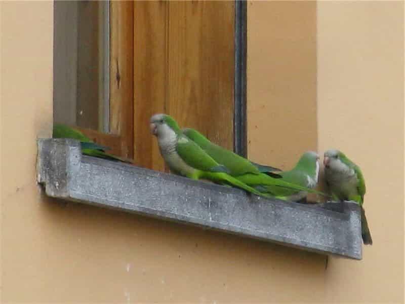Pappagalli a Roma