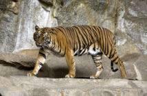 Un esemplare di Tigre di Sumatra